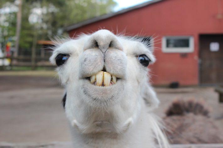 Reasons llamas amp alpacas are awesome animallama